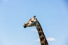 Rothschild Giraffe Stockbild