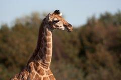 Rothschild Giraffe calf Stock Image