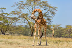 Rothschild Giraffe Contortionist. A Rothschild Giraffe, aka Baringo Giraffe or Ugandan Giraffe, with neck bent double, attending to a tick or sore on its chest Royalty Free Stock Photography