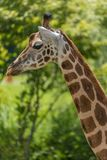 Rothschild giraffe in detail royalty free stock photo