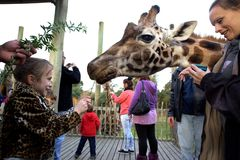 A Rothschild Giraffe is fed by children Royalty Free Stock Image