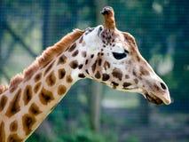 Rothschild Giraffe. A Rothschild Girrafe in profile Royalty Free Stock Photography