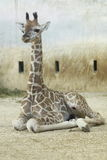 Rothschild giraffe juvenile Royalty Free Stock Photo