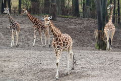 Rothschild giraffe Royalty Free Stock Photography