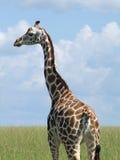 Rothschild Giraffe in Uganda Royalty Free Stock Images