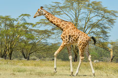 Rothschild Giraffe, Walking. A Rothschild Giraffe, aka Ugandan Giraffe or Baringo Giraffe, walking across the savanna of Nakuru National Park, Kenya. A cleft Royalty Free Stock Photo