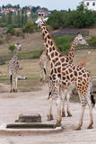 Rothschild giraffes (Giraffa camelopardalis rothschildi) in the. Herd of rothschild giraffes (Giraffa camelopardalis rothschildi) in the zoo Royalty Free Stock Photos