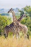 Rothschild Giraffes  (Giraffa camelopardalis) Stock Photography