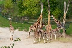 Rothschild giraffes Stock Images