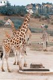Rothschild giraffes in zoo stock photo