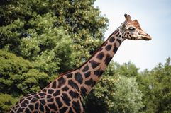 Rothschild ` s长颈鹿在动物园里 免版税库存照片
