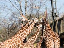 Rothschild ` s长颈鹿长颈鹿在彻斯特动物园,彻斯特的camelopardalis camelopardalis 免版税库存照片