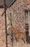Rothschild ` s长颈鹿长颈鹿在彻斯特动物园,彻斯特的camelopardalis camelopardalis 免版税图库摄影