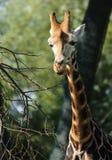 Rothschild` s giraf in Chester Zoo Royalty-vrije Stock Foto's