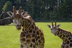 Rothschild's Giraffe Royalty Free Stock Photo
