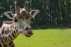 rothschild s giraffe Стоковая Фотография RF