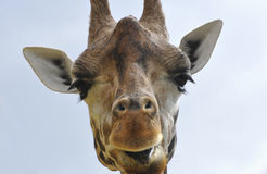 Rothschild's Giraffe Stock Images