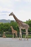 Rothschild's Giraffe Stock Photos