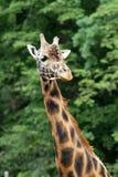 rothschild s giraffe Стоковые Фото