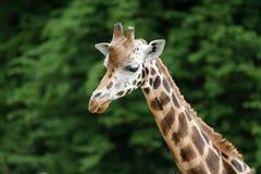 rothschild s giraffe Стоковые Изображения