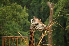 Rothschilds giraffe (also known as Baringo giraffe or Ugandan g Royalty Free Stock Photography