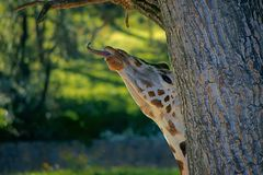 Rothschild`s giraffe, animal, cute, head stock photos