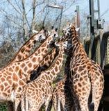 Rothschild-` s Giraffe Giraffa camelopardalis camelopardalis bei Chester Zoo, Cheshire Stockfotografie
