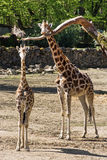 Rothschild's giraffe (Giraffa camelopardalis rothschildi) with c Stock Photos