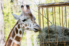 Rothschild's giraffe (Giraffa camelopardalis rothschildi) eats d Royalty Free Stock Images