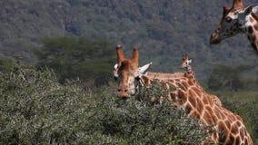 Rothschild-` s Giraffe, Giraffa camelopardalis rothschildi, erwachsenes Essen Akazie ` s verlässt, Nakuru Park in Kenia, stock video footage