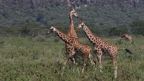 Rothschild`s Giraffe, giraffa camelopardalis rothschildi, Herd walking through Savanna, Nakuru Park in Kenya,