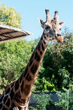 Rothschild's giraffe (Giraffa camelopardalis rothschildi) Stock Images