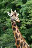 Rothschild's giraffe Stock Photos