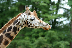 Rothschild's giraffe Royalty Free Stock Photo