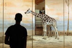 Rothschild's giraffe (Giraffa camelopardalis rothschildi) Royalty Free Stock Photos