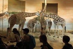Rothschild's giraffe (Giraffa camelopardalis rothschildi) Stock Photos