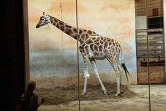 Rothschild's giraffe (Giraffa camelopardalis rothschildi) at Prague Zoo, Czech Republic. Royalty Free Stock Image