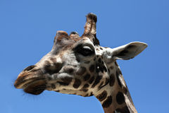 Rothschild's giraffe (Giraffa camelopardalis rothschildi). Royalty Free Stock Photography