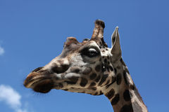 Rothschild's giraffe (Giraffa camelopardalis rothschildi). Stock Photography