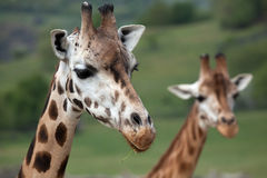 Rothschild's giraffe (Giraffa camelopardalis rothschildi). Wildlife animal royalty free stock image