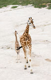Rothschild's giraffe (Giraffa camelopardalis rothschildi) Royalty Free Stock Photography