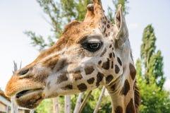 Rothschild`s Giraffe head Royalty Free Stock Photos