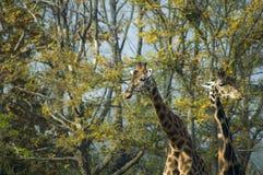 Rothschild`s giraffe and Kordofan giraffe. Rothschild`s giraffe Giraffa camelopardalis camelopardis, formerly Giraffa camelopardis rothschildi and Kordofan royalty free stock images