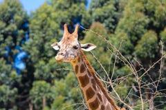 Free Rothschild S Giraffe Portrait Kenia Royalty Free Stock Photography - 121446227
