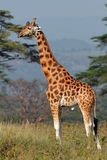 Rothschild's giraffe Royalty Free Stock Image