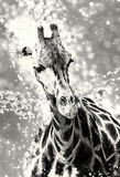Rothschild`s giraffe with shimmering background, colorless Royalty Free Stock Photos