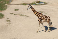 Rothschild's giraffe walking round the dust with tongue out, sun Stock Photography