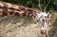 Rothschild's giraffe at Zoo Bratislava Stock Images