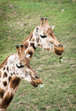 Rothschild's giraffes eating green leaves Stock Photos