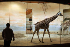 Rothschild's giraffes (Giraffa camelopardalis rothschildi) at Prague Zoo Stock Photo